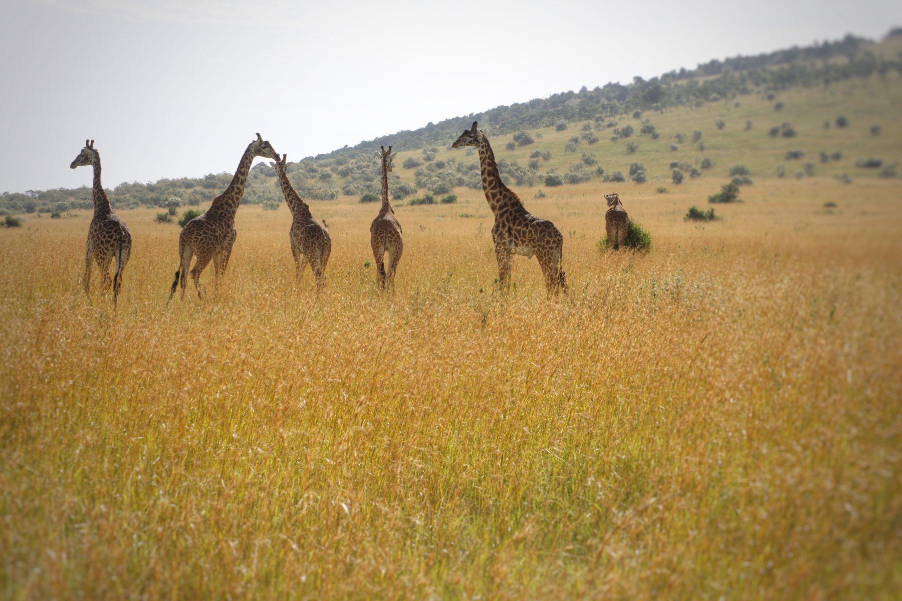 Hunting Out The Best East African Safari Kenya Vs